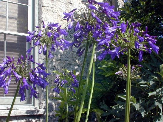Agapanthus 'Back in Black' in my own garden Zone 5 at two years.