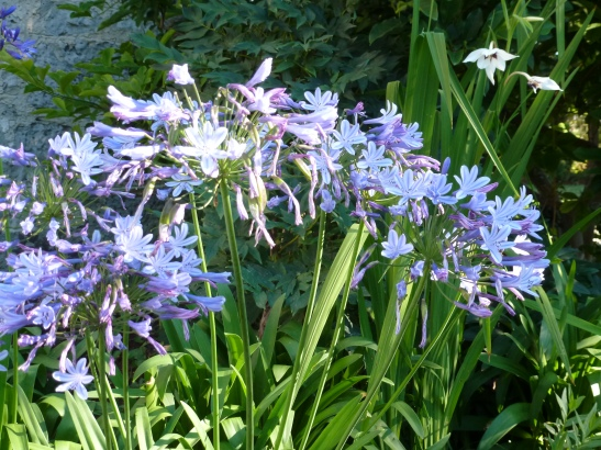 This clump of agapanthus campanulatus has survived more than five years of winters below -20c with protective mulch in winter and snow cover.